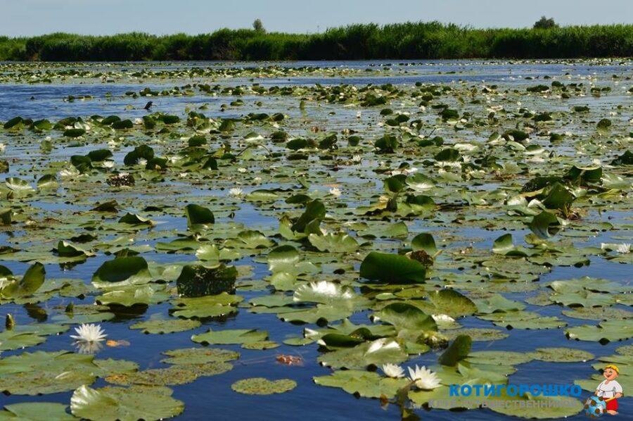 Водяные лилии в плавнях Днепра