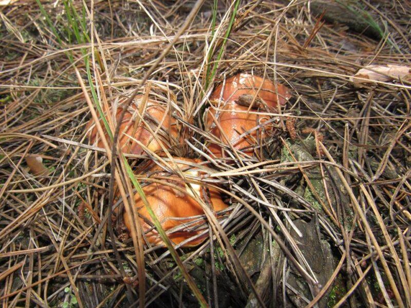 Тихая охота за грибами в Цурюпинском лесу