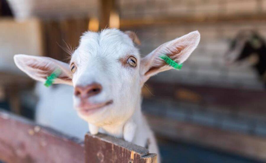 Лиманская коза