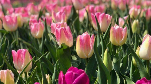 Тур в заповедник Еланецкая степь и тюльпаны Кропивницкого
